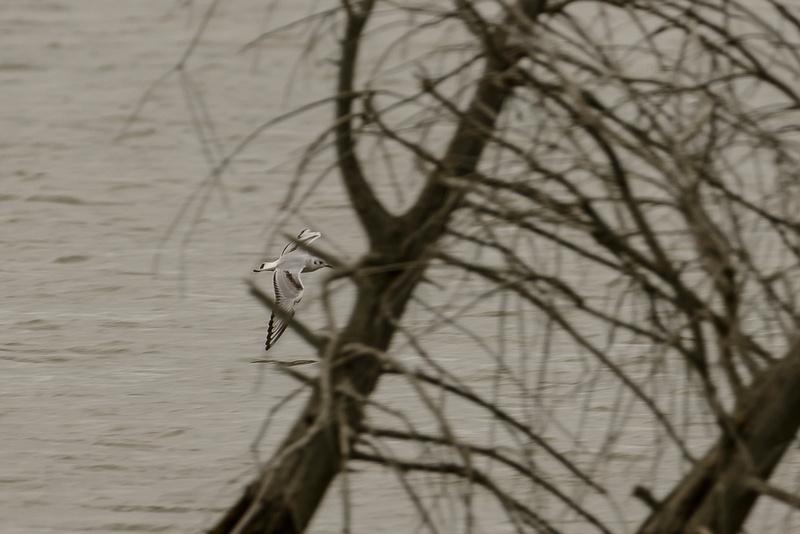 SJLaRue Photography: Bonaparte's Gull &emdash; Bonaparte's Gull