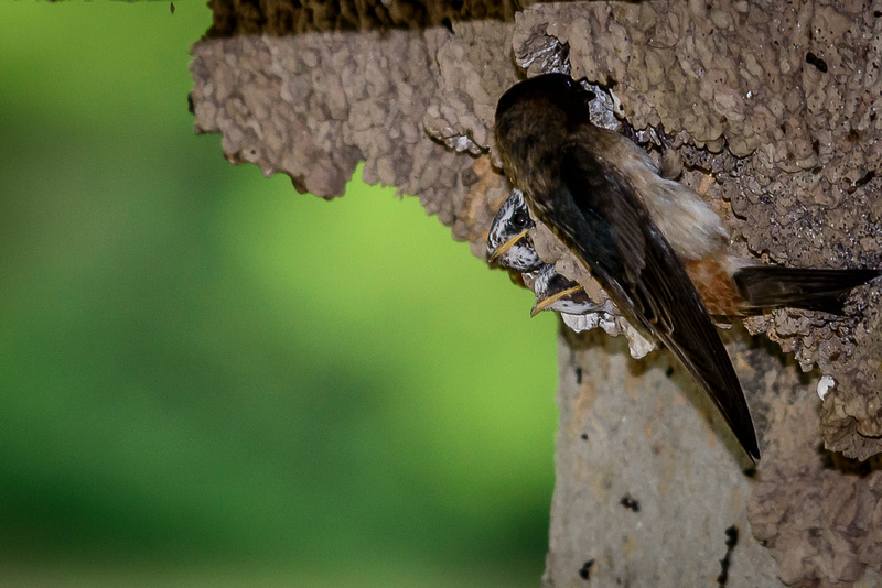Baby Cliff Swallows and Adult Feeding