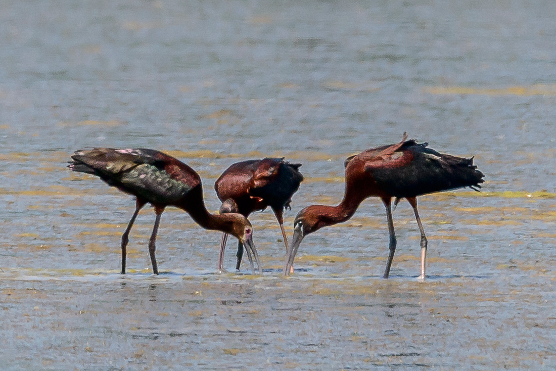 Glossy & White-faced Ibis