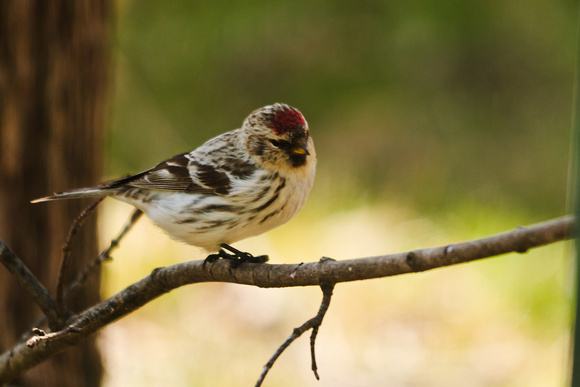 Female Hoary Redpoll Larue Ohio