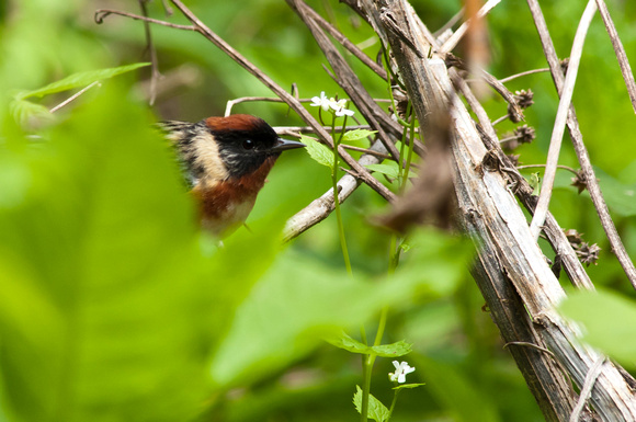 Bay-breasted Warbler; Magee Marsh, Lake Erie Ohio
